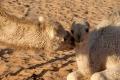 Das Kamelbaby bekommt ein Bussi, Foto: Maria Estalla Dürnecker